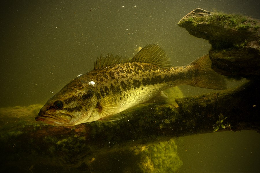 Image of largemouth bass underwater near submerged tree branch.